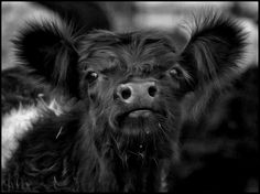 Belted galloway calf by gilliebg Cute Baby Cow, Baby Cows, Cute Cows, Cute Baby Animals, Farm Animals, Funny Animals, Baby Elephants, Wild Animals, Galloway Cattle