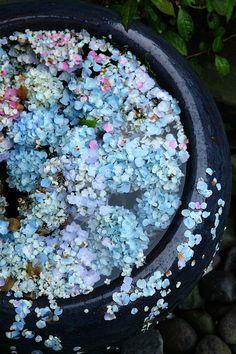 Blue Hydrangeas & Water Feature