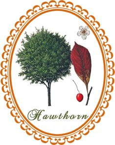 The medicinal actions, medicinal uses and cautions of hawthorn in herbal healing, and how to make a hawthorn tincture, decoction and poultice. Smelling Flowers, Irregular Heartbeat, Heart Conditions, Grow Together, Growing Tree, Small Trees, Types Of Plants, Dried Flowers