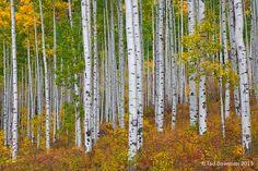 Colorado pictures,fall aspen photos,fall foliage photo,autumn image, White River National Forest,aspen tree photos, photo