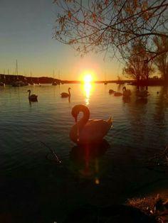I cigni di #Arona questa mattina all'alba ( #Novara #Piedmont #Italy ) #swan