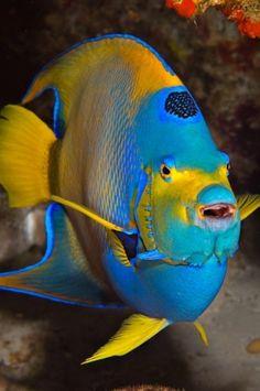 Queen Angel   Maui Scuba Underwater Photo of the Week