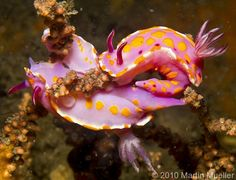 1000+ images about Nudibranch and sea slugs on Pinterest ...