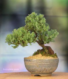 Bonsai de uma espécie de Juniperus L. o zimbro, com aproximadamente 5 anos de idade. Fotografia: https://www.etsy.com