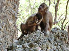 NUEVA YORK (AP) — Un grupo de monos en un parque nacional en Brasil entrechocaron piedras de las cuales se desgajaron escamas filosas similares a las herramientas cortantes utilizadas por los precursores de la raza humana.