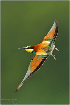 European Bee-Eater (Merops apiaster) - a near passerine bird in the bee-eater family Meropidae. It breeds in southern Europe and in parts of north Africa and western Asia. It is strongly migratory, wintering in tropical Africa, India and Sri Lanka.