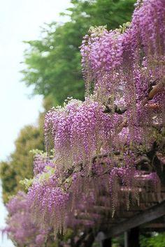 Wisteria floribunda 'Rosea' - Pink Japanese Wisteria