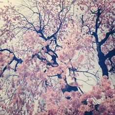 Sakura full on blooming like there is no tomorrow.  Such nice warm Saturday Spring has come :)  あたたかくなって最高な土曜日♡玄関出たらご近所さんの枝垂れ桜が見事に咲いててびっくり〜下...