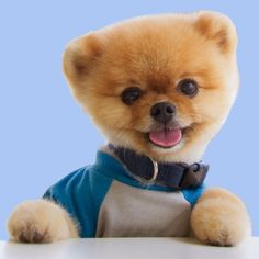 Image result for jiffpom