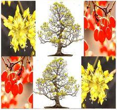 Asiatic Dogwood Seed  Japanese Cornel Dogwood by ALLooABOUTooSEEDS
