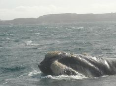 Puerto Piramides Whale . Cabeza de Ballena Franca Austral
