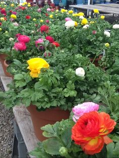 pots of ranunuculus for cool weather