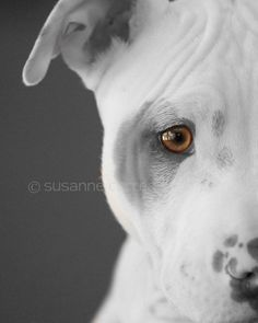 Pit Bull Puppy, dog, fine art photography, home decor, amber eyes, dog photography, home decor, 8x10