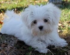 ❤️Maltese I really wanted a yorkie for my small dog but this Maltese is stealing my heart!!!