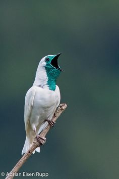 Exotic birds - Bare-throated Bellbird (Procnias nudicollis) - It is a species of bird in the Cotingidae family. It lives in Argentina, Brazil, and Paraguay. Kinds Of Birds, All Birds, Love Birds, Angry Birds, Pretty Birds, Beautiful Birds, Animals Beautiful, Exotic Birds, Colorful Birds