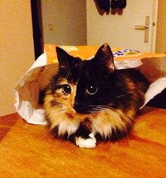 blind-cat-chimera-calico-jasmine-sandra-coudray-4  Now, Jasmine loves kisses and cuddles and is very attached to her human mom Coudray