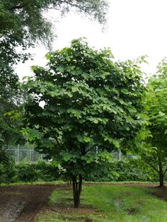 A low branching tree with a wide, round crown that is rarely seen here. Late Summer, Branches, Brown And Grey, Shrubs, White Flowers, Den, Yard, Crown, Landscape