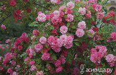 Tausendschon Таусендшон Сорт зимостоек, без шипов, устойчив к болезням, и очень обильно цветет