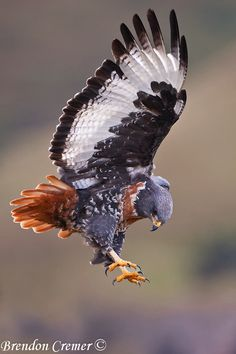 Jackal Buzzard. South Africa. The diet of the jackal buzzard is mainly small ground mammals, but snakes, lizards, small ground birds, insects, and road-kill are also taken. Typically, the raptor drops on its prey from a perch or hover.
