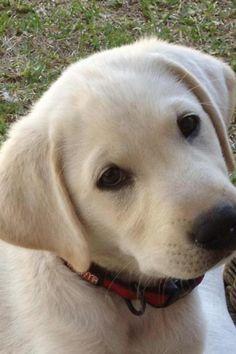 My friend's lab puppy