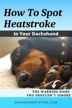Dachshund Puppies, Dachshund Love, Weiner Dogs, Dachshunds, Doggies, Summer Dog, Summer Heat, Summer Safety Tips, Frozen Dog