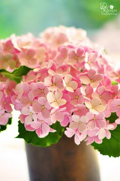 pink hydrangea by dkdesigns, love the colouring and shading