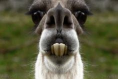 funny llama pictures - Google Search