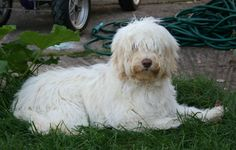 Grooming - The Cockapoo Club of GB