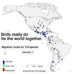 Mesmerizing Migration: Watch 118 Bird Species Migrate Across A Map Of The Western  Hemisphere
