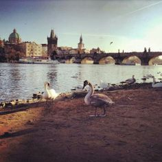 Swans by the Charles Bridge-Welcome to Prague!