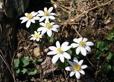 Sangunaria Canadensis-
