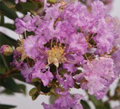 Spring-Blooming Early Bird™ Crapemyrtles