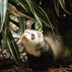 #minn #ferret I'm watching you !