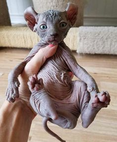 Sphynx Cats For Sale In Missouri Animals And Pets, Baby Animals, Cute Animals, Cute Kittens, Cats And Kittens, Cute Hairless Cat, Chat Sphynx, Animal Original, Sphinx Cat