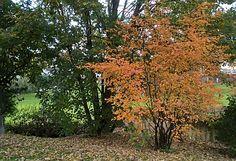 Herbstfärbung der Felsenbirne im Oktober Freundlich, Country Roads, Plants, Insects, October, Plant, Planets