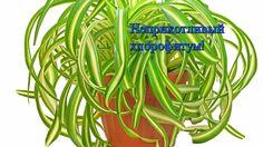 Неприхотливые растения для дома!  Знакомьтесь, хлорофитум!