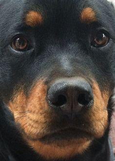 Kissable Rottweiler