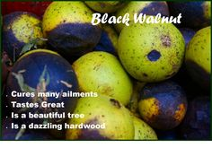 Black Walnut is a great tree to have around.  It yields beautiful wood, great tasting nuts, and the hulls have medicinal properties.  It has a wonderful taste and you can use it in cooking.  Find out more about this interesting plant and fruit.