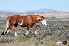 Cowboy,  Sand Wash Basin stallion, photo by John Wagner