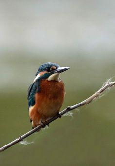 Le Martin-pêcheur est un oiseau pressé, vif et furtif. On le voit passer comme une fusée, de son vol rectiligne au ras de l'eau. C'est son cri perçant, au moment où il passe, qui signale sa présence. Mais alors, il a déjà disparu. Même posé, ses gestes sont nerveux. S'il repère un poisson, en 2 secondes, il a plongé et retrouvé sa place sur la branche, avec ou sans poisson. Il peut aussi demeurer 5 mn posé, comme ici, à regarder à droite et à gauche. Evidemment c'est nickel pour le…