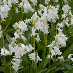 Hyacinthoides non scripta 'Alba', The white form of the true English Bluebell Fragrant. Flowering: late April to early June Height: 30cm
