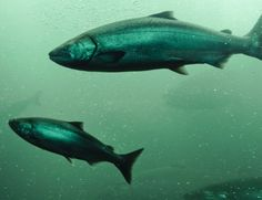 Mystery Solved: THIS Is How Salmon Find Their Way Home