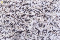 Photo by Eileen Johnson:  Thousands of snow geese take flight during a snowy morning fly out at Bosque del Apache