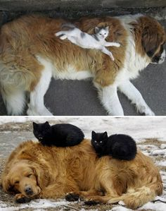 Soulshine and Sparkles - tastefullyoffensive: Cats Using Dogs as Pillows...