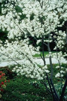 Autumn Brilliance Serviceberry is an extremely popular choice among homeowners. A great three season accent tree, Autumn Brilliance Serviceberrys shrub-like form make it perfect for adding privacy screening to the landscape. Amelanchier Alnifolia, Trees And Shrubs, Trees To Plant, Flowering Trees, Garden Beds, Garden Plants, Garden Shrubs, Landscaping Plants, Shade Garden