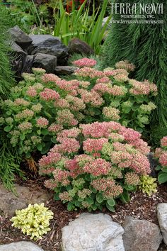 """Sedum 'Hot Stuff' - The SHORTEST S. spectabile on the market! This seedling of 'Brilliant' bloodlines forms a tight 10""""mound of foliage covered by domes of bright pink flower heads!"""