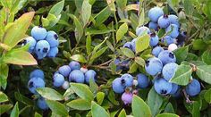 Consumer demand for this tasty little fruit has increased significantly in recent years, fueled in part by research that has shown blueberries to be one of the best food sources of health-protecting antioxidants.