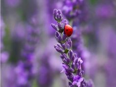 Lavender and ladybugs...who could ask for more?