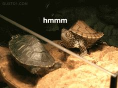 After the success of our baby gifs collection (Special thanks to stumbler's good taste) , I've decided to collect my favorite shocked and surprised animals gifs, they are pretty funny. Again gifs are a kind Funny Videos, Funny Animal Videos, Funny Animals, Cute Animals, Funniest Animals, Turtle Gif, Turtle Facts, Map Turtle, Les Joies Du Code