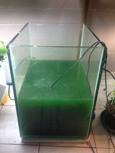 You too can grow spirulina! This is our spirulina tank growing in the Lab.